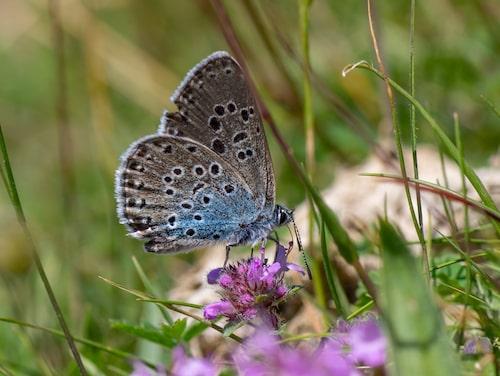 Förra sommaren rapporterades bara fyra fjärilar av arten svartfläckig blåvinge till Artportalen.