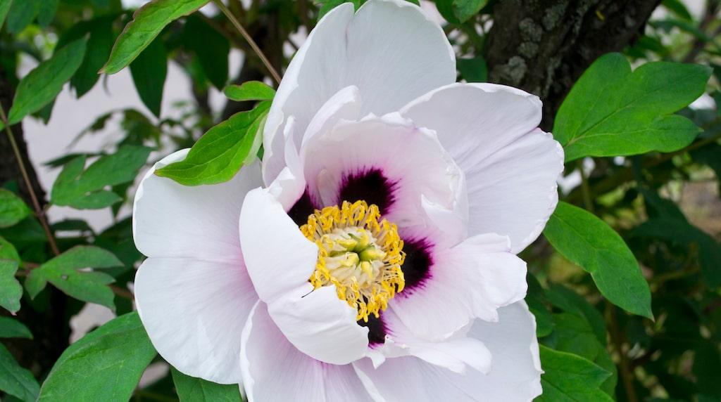 Pioner är en otroligt älskad växt – med fantastiska blommor. Men det gäller att sköta om dem för att de ska må bra och överleva.