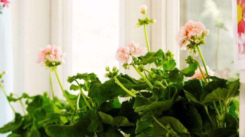 Mårbacka är en ljust rosa pelargon med spretigt växtsätt.