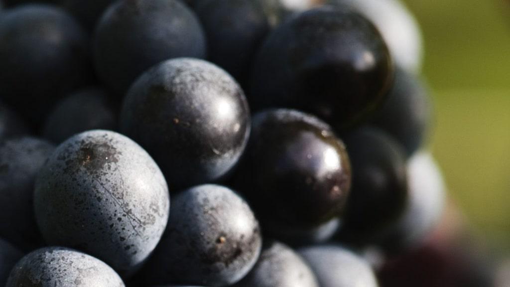 Pinot noir ingår i många världens mest exklusiva viner