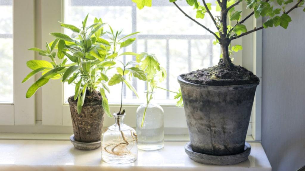 Svartvinbär. Trädet i köksfönstret är ett svartvinbärsträd som egentligen ska vara utomhus, men som Frida lyckats få att överleva inne. På fönsterbänken syns även en liten egenodlad ek