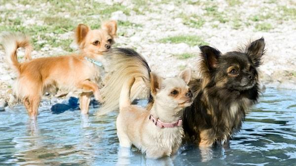 Chihuahua - en pigg och alert hund.