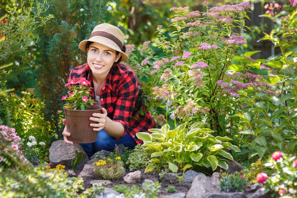 Urin på växterna rekommenderas även av forskare på SLU (Statens Lantbruksuniversitet) och sägs kunna ge upp till sju gånger bättre skördar.
