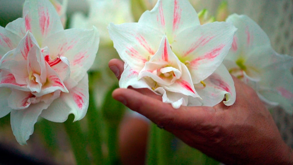 Blomman är vit med röd spräcklighet på insidan av blommorna.