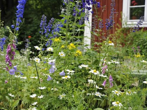 Låt gärna bli att klippa gräset i en del av din trädgård så att fler växter kan gå i blom.