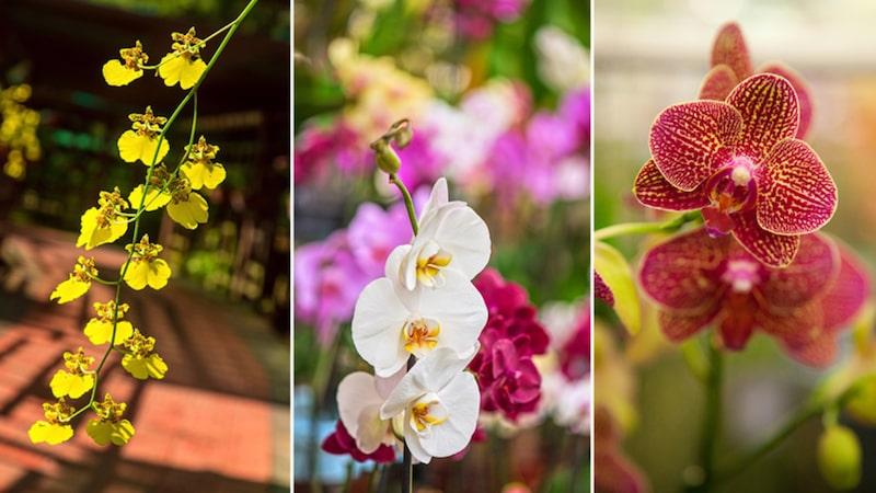 """Orkidéer har kallats """"ungkarlsväxt"""" för att de är så lätta att ta hand om. Men ibland faller blommorna av och växten dör – utan att vi förstår vad vi har gjort för fel."""