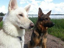 Veronicas hundar Ace och Eddie slipper nu fästingar helt och hållet. Den ena är en vit herdehund och den andra en blandning mellan schäfer, rottweiler och collie.