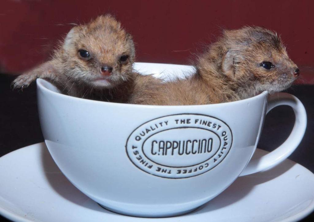 Mumbles och Wiggles heter de små söta mungobebisarna som får samsas om utrymmet.