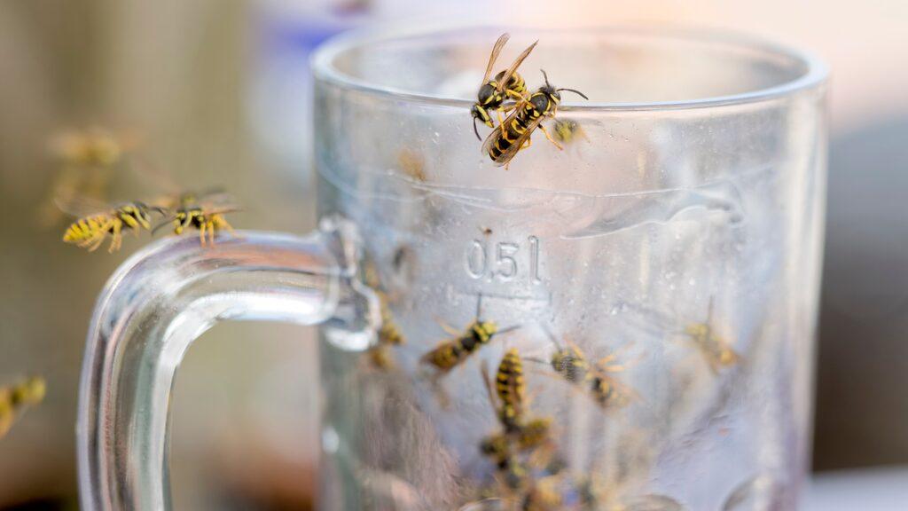 Visste du att getingen är ett rovdjur och tillsammans med bin också är Sveriges farligaste insekt? Den dödar 2-5 personer varje år.
