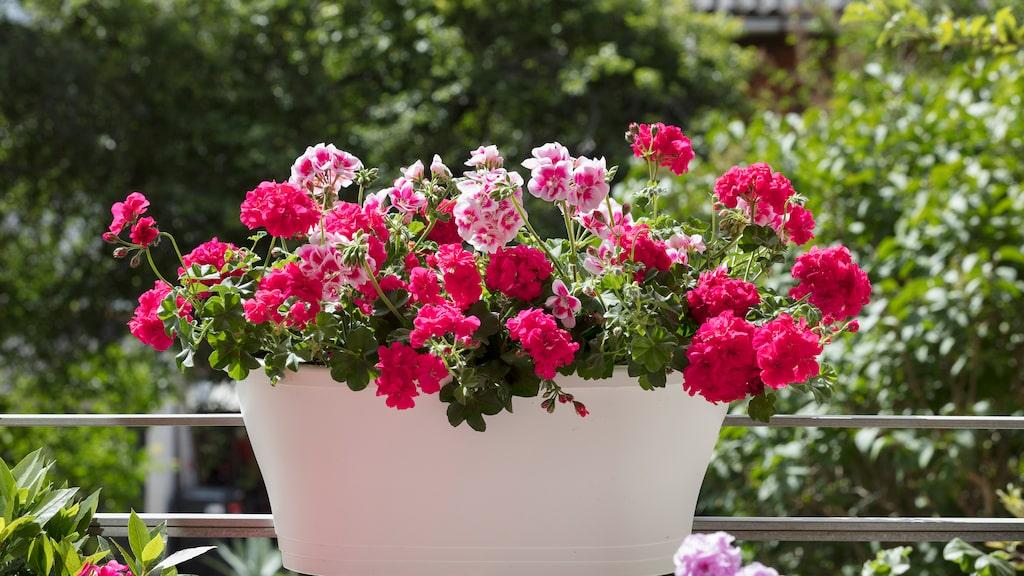 Allra bäst är det att vattna pelargonerna på morgonen så att de hinner torka upp under dagen.