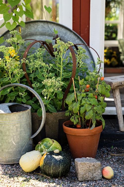 Genom att blanda material och formspråk skapas spännande kontraster som blir vackra blickfång. Kärleksört och tomater i krukor har sällskap av prydnadspumpor, zinkdetaljer och några överblivna kantstenar.
