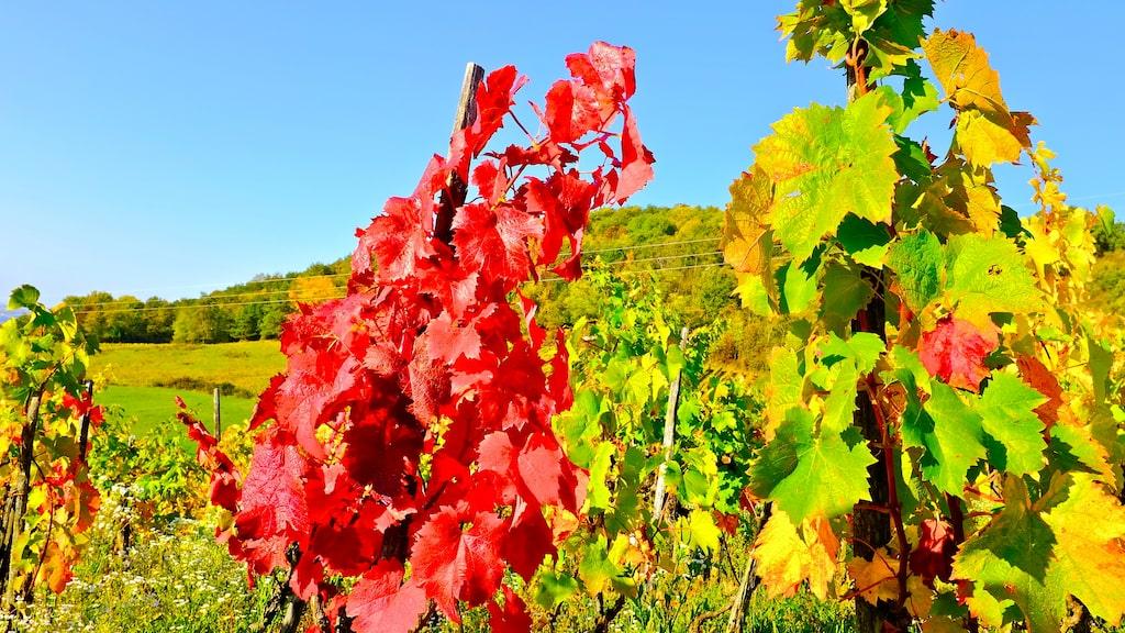 Vinproduktionen är på uppgång.
