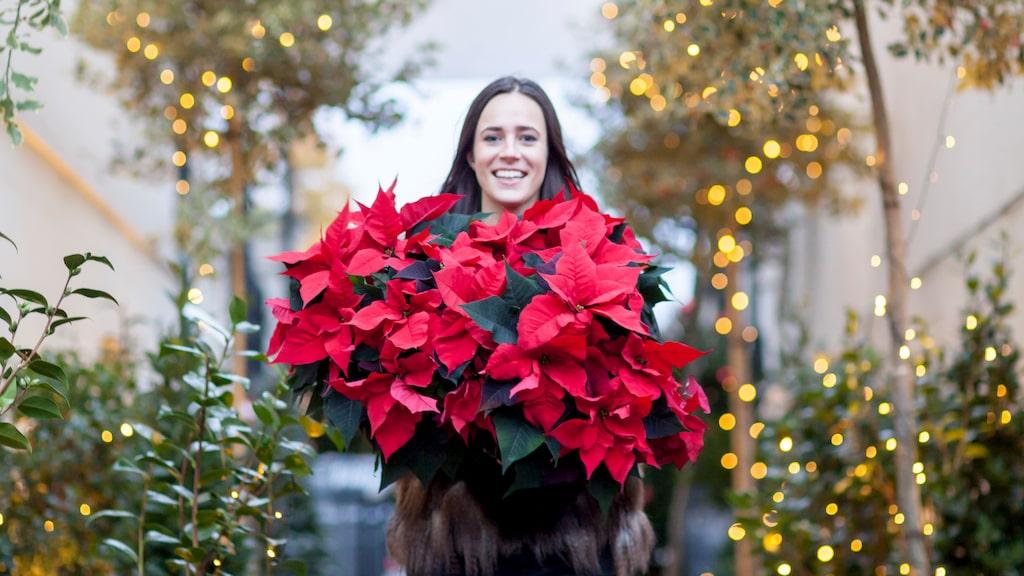Om du sköter om din julstjärna på bästa sätt kommer den hålla sig fin hela julen.