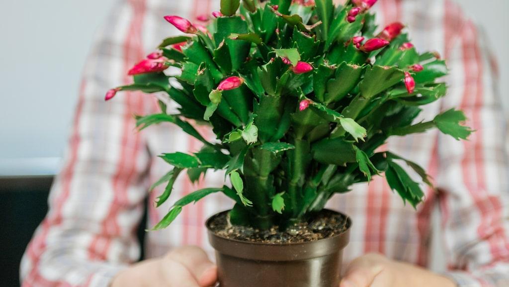 När det börjar komma knoppar på växten ska den vattnas så att jorden hålls jämnt fuktig.