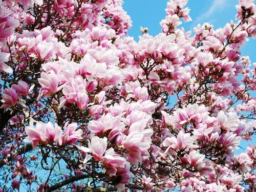 När magnolian blommar vet vi att våren är här.