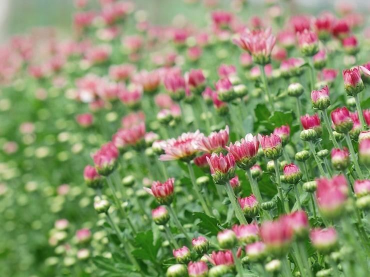 Det är en mycket tålig växt som blommar ända tills frosten sätter in.