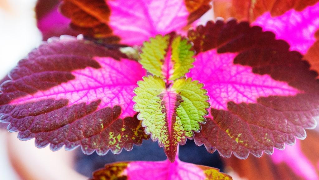 Palettbladens färg varierar mycket beroende på hur mycket ljus de får.