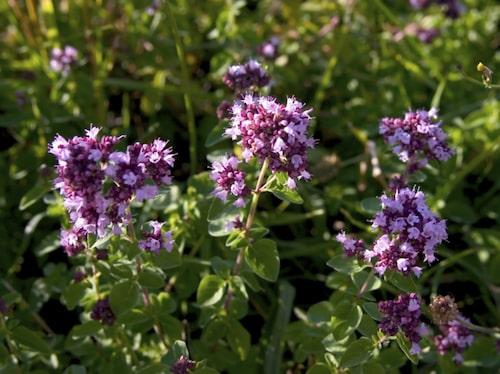 regano är en torktålig växt, och behöver därför inte vattnas särskilt ofta.