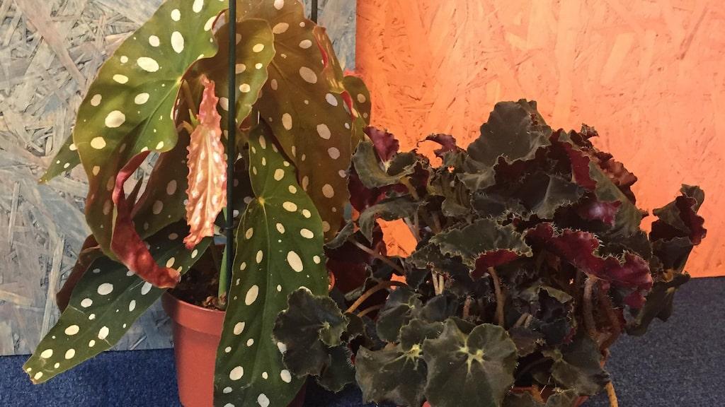 Trendiga blommor enligt försäljaren, en 'Prickbegonia' och en 'Dark mambo'.