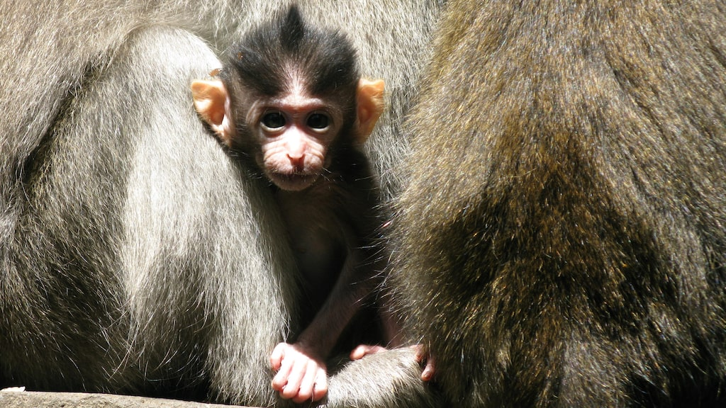 Apunge i Monkey Forest.