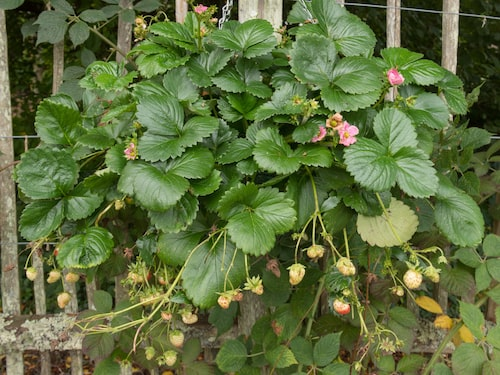 Med en återblommande ampeljordgubbe kan du skörda jordgubbar långt in på hösten.