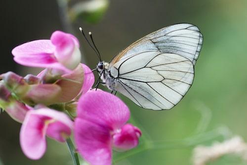 Hagtornsfjäril (Aporia crataegi).