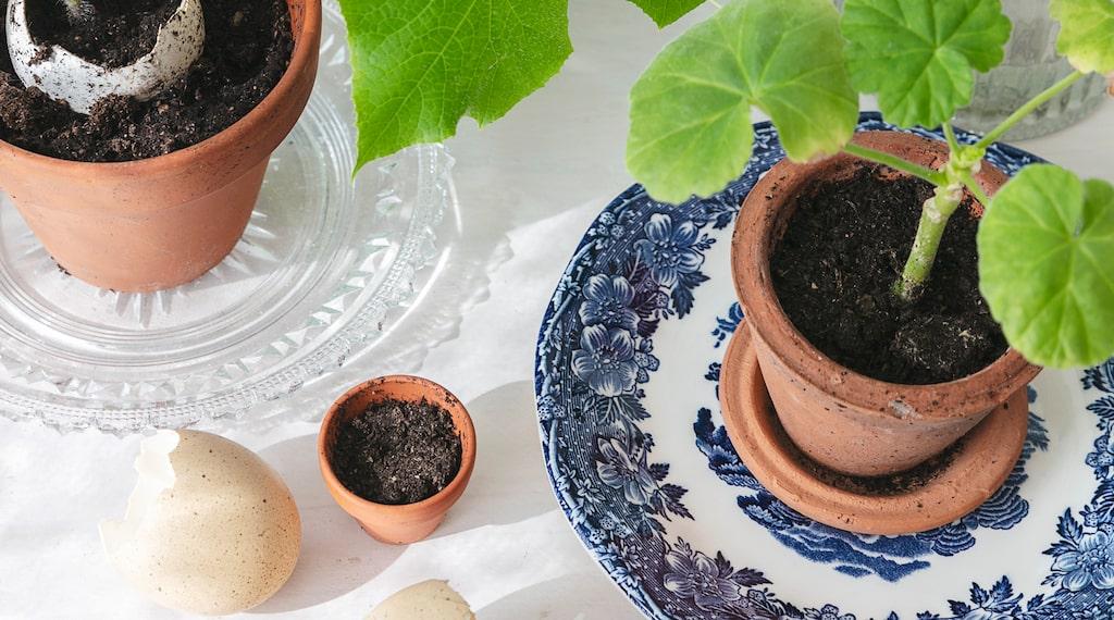 Mia tycker om att sätta fröer och att plantera, och överallt i huset står det små vaser och krukor med sticklingar och blomskott. Här står vackra pelargonsticklingar och väntar på att planteras om i större krukor.