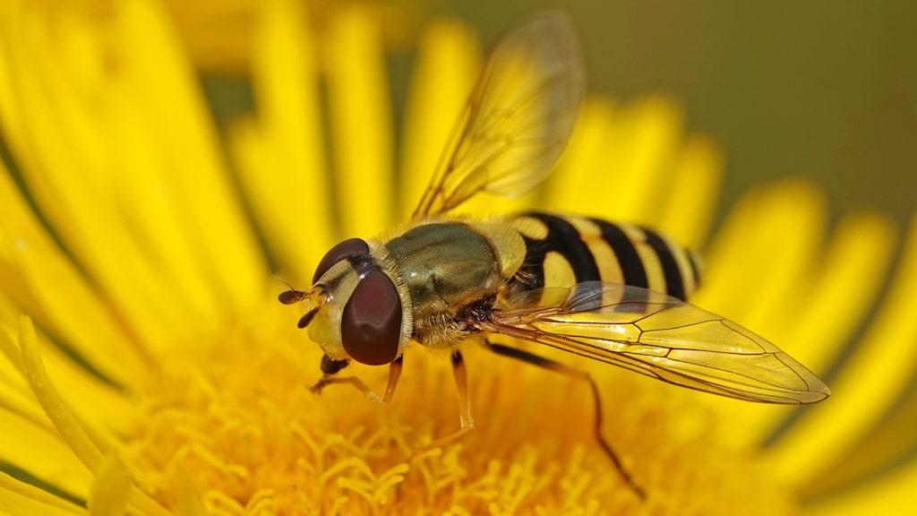 ... blomflugan (Syrphidae) ser mer ut som ett bi och är en viktig pollinerare i trädgården.
