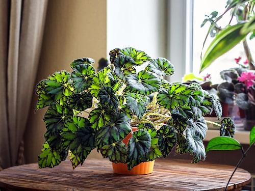 En begonia behöver inte vara lik en annan. Den finns i massor av olika färger, former och mönster.