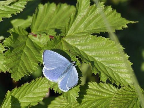 Tosteblåvinge (Celastrina argiolus).