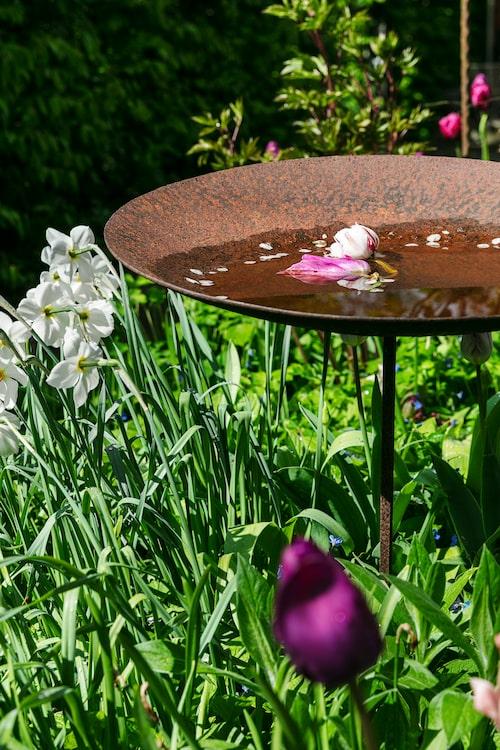 Ett rostigt fågelbad pryds av blomblad och en knopp av magnolia. Nedanför pingstliljan 'Thalia'.