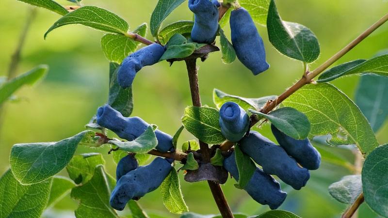 Blåbärstry innehåller mer antioxidanter än blåbär!