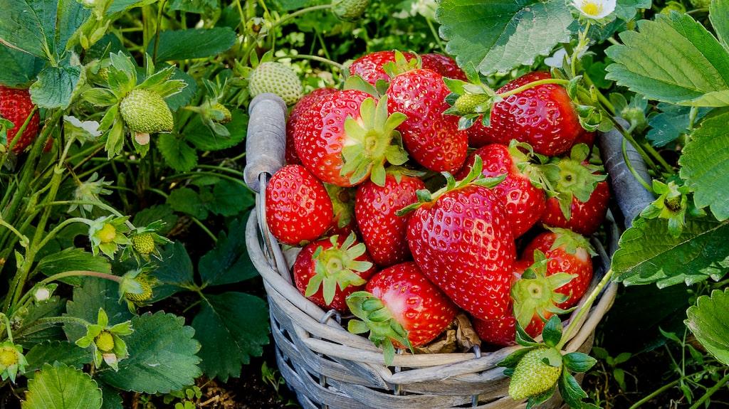 Jordgubbar kan man plantera både på våren och hösten. Den bästa tiden att förbereda ett jordgubbsland är i slutet av juli, men butikerna är redan i maj fyllda av knoppande plantor så det går bra att börja redan då.