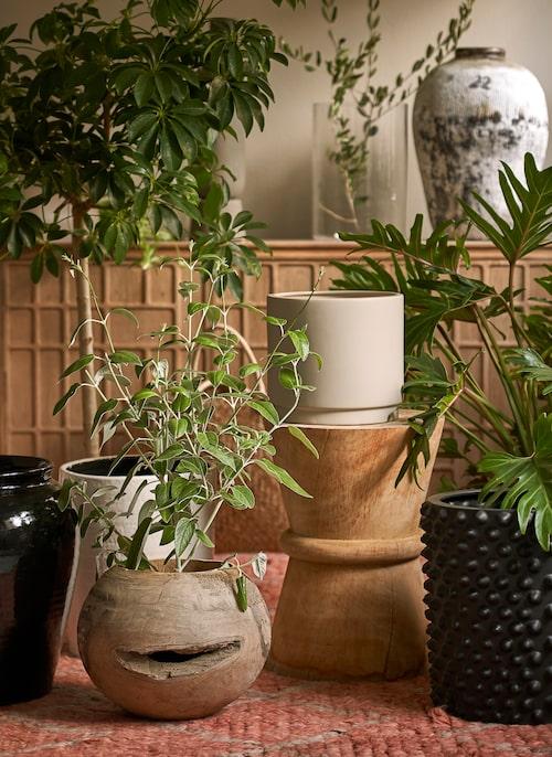 Att inreda med inomhusträd så som paraplyaralian på stam i bakgrunden av bilden, är en av de senaste växttrenderna.