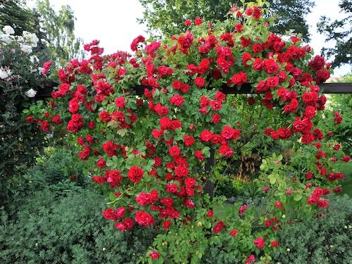 """Den som vill ha en röd klätterros ska satsa på """"Flammentanz"""". Frisk och blommar mycket villigt med cinnoberröda blommor i klasar."""