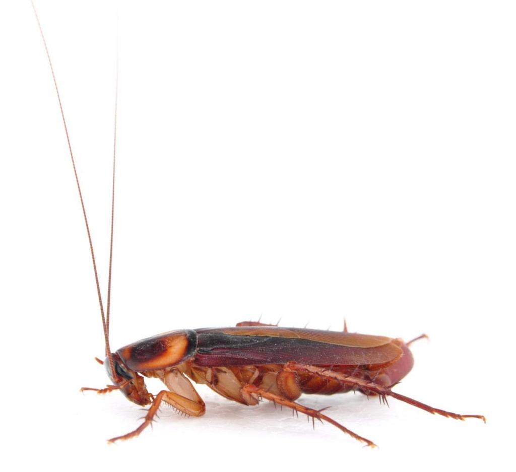 Kackeerlackor sprider smitta, bland annat salmonella och listeria, genom sin avföring och sekret som den förorenar mat med.