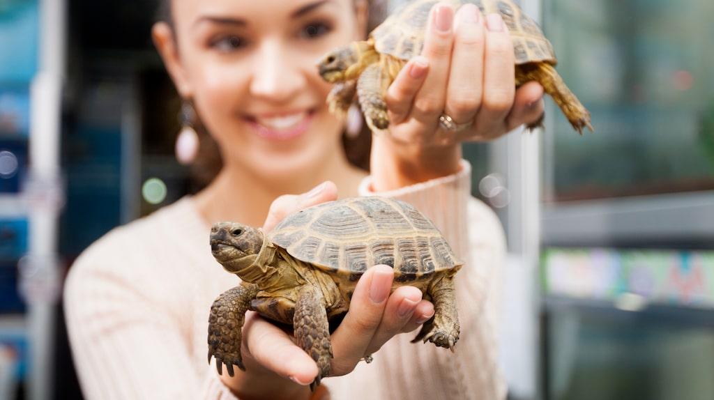 Vattensköldpaddan har länge varit ett uppskattat husdjur, men är samtidigt inte alltid enkel att ha att göra med.