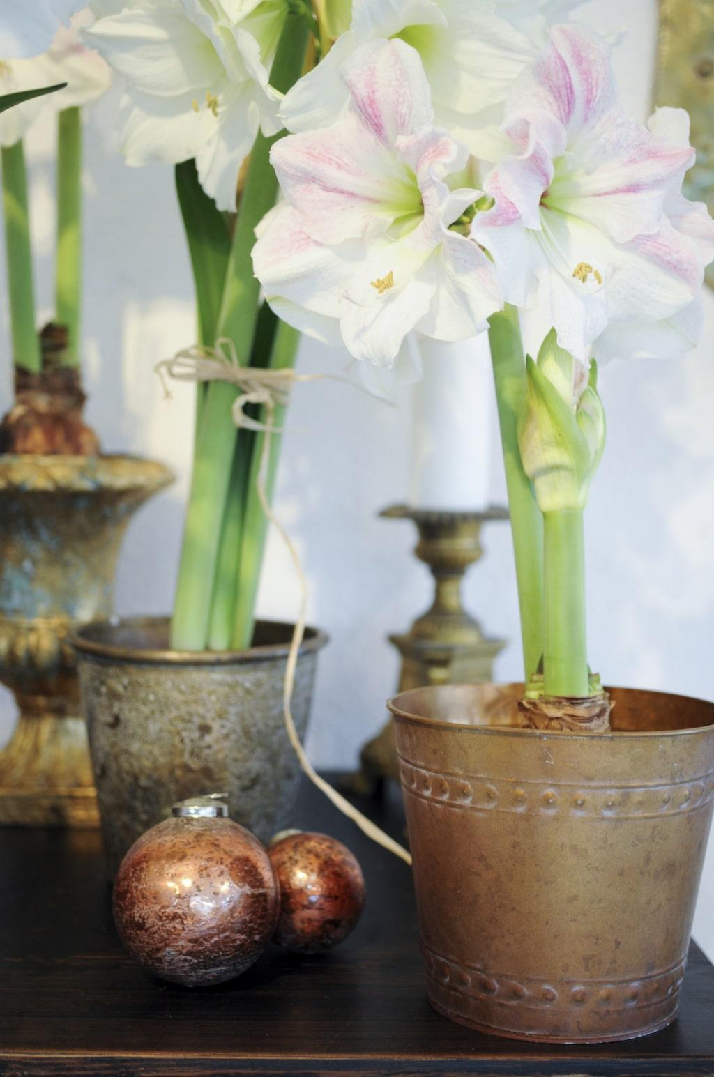 Amaryllisar i krukor på ett av de många antika bord Håkan hittat på auktion. Där har han även hittat de vackra julkulorna. Vissa krukor målas om och dekoreras då inte sällan med bladguld, medan andra får vara precis som de är när han hittar dem.