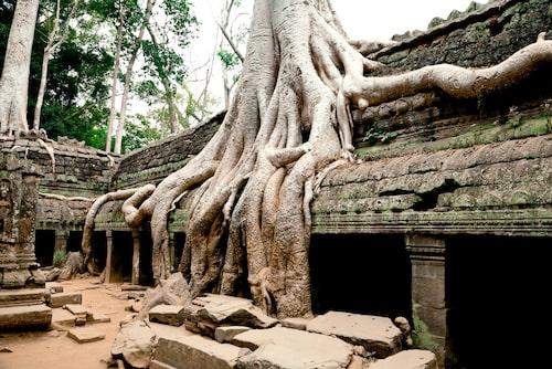 Ta Phrom, ett av alla tempel i Ankor Wat.