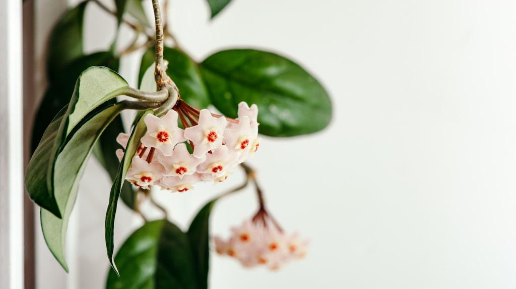 Det är en lättskött växt som gärna blommar om och om igen.